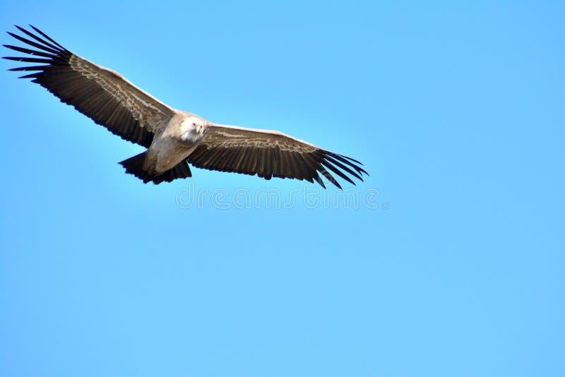 Γύπας Griffon σε Baronnies, φτερά ευρέως ανοικτά Να πετάξει ελεύθερα σε έναν μπλε ουρανό σε Drome Provencale στοκ εικόνες με δικαίωμα ελεύθερης χρήσης