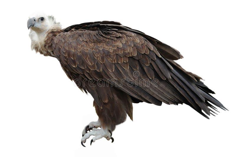 Γύπας Griffon στοκ φωτογραφίες με δικαίωμα ελεύθερης χρήσης