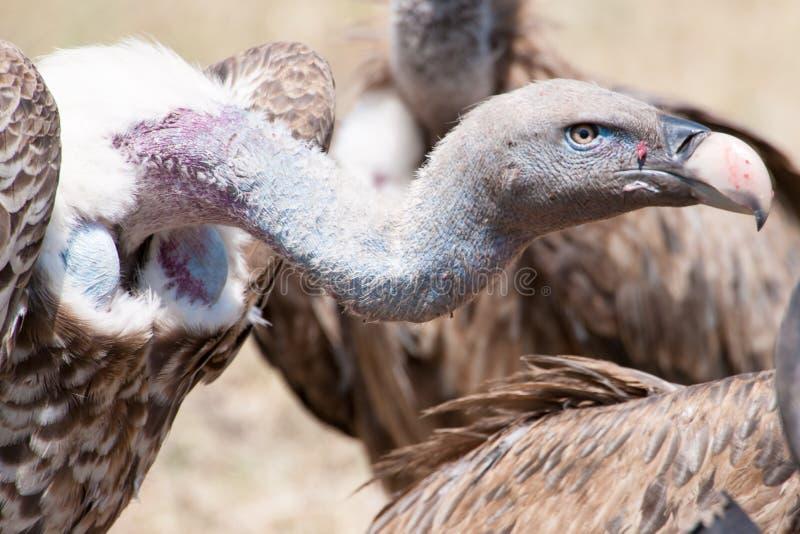 Γύπες που ταΐζουν με το σφάγιο σε Serengeti, Τανζανία, Αφρική στοκ φωτογραφίες