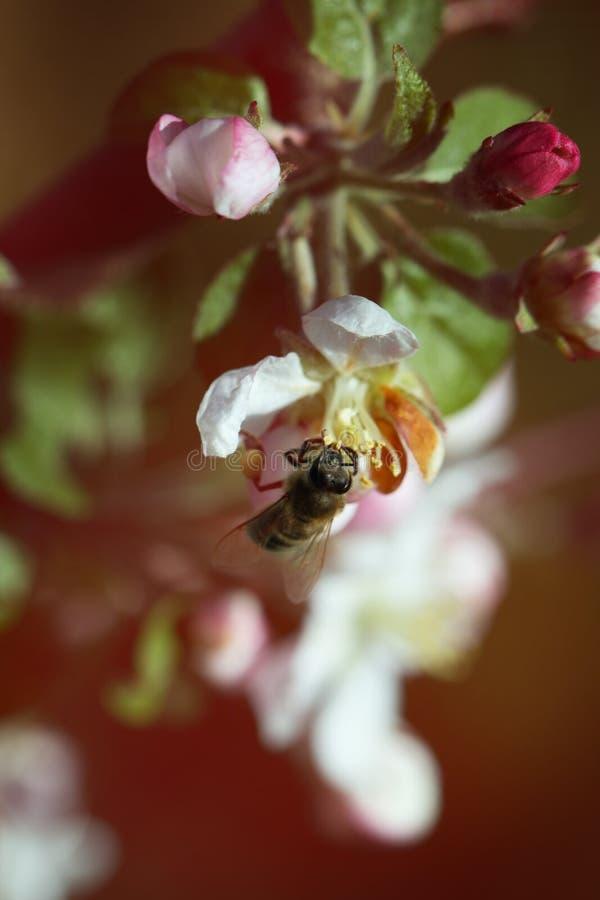 Γύρη επιλογής μελισσών από το λουλούδι μήλων Μέλισσα στο άνθος μήλων Honeyb στοκ εικόνες