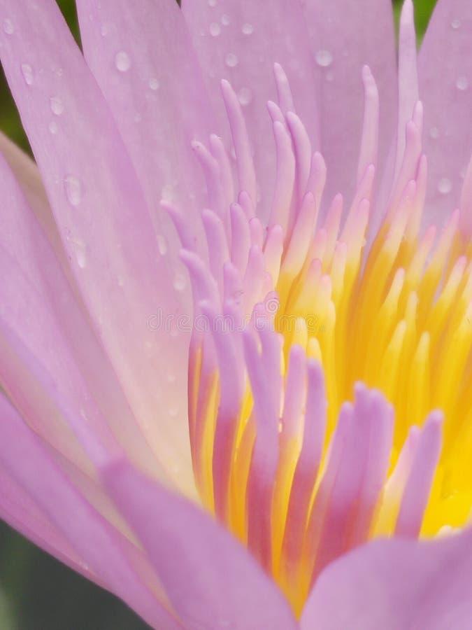 γύρη λουλουδιών λωτού στοκ φωτογραφίες