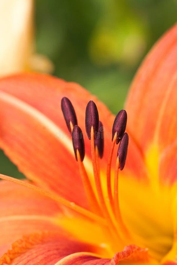 Γύρη σε ένα κόκκινο λουλούδι στοκ φωτογραφία με δικαίωμα ελεύθερης χρήσης