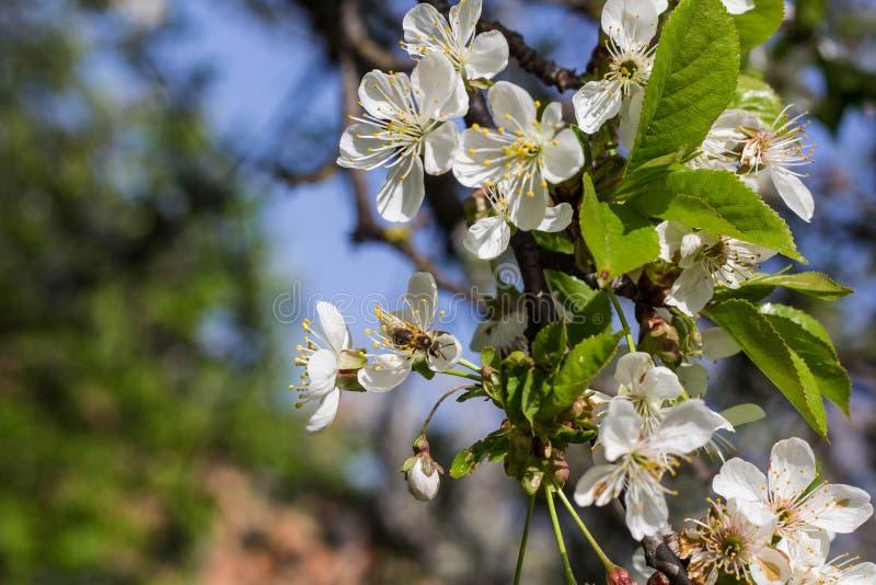 Γύρη συγκομιδής μελισσών μελιού από το άνθος κερασιών στοκ φωτογραφία