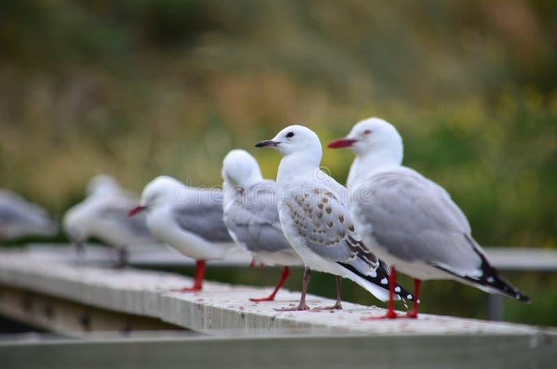 Γλάροι στη Νέα Ζηλανδία στοκ φωτογραφίες με δικαίωμα ελεύθερης χρήσης