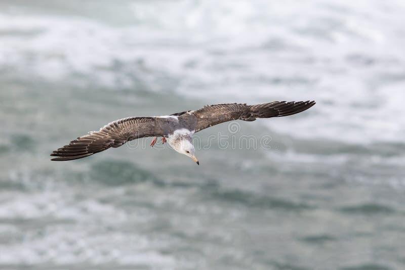 Γλάρος Καλιφόρνιας κατά την πτήση πέρα από το Ειρηνικό Ωκεανό - Σαν Ντιέγκο, θερμ. στοκ φωτογραφία με δικαίωμα ελεύθερης χρήσης