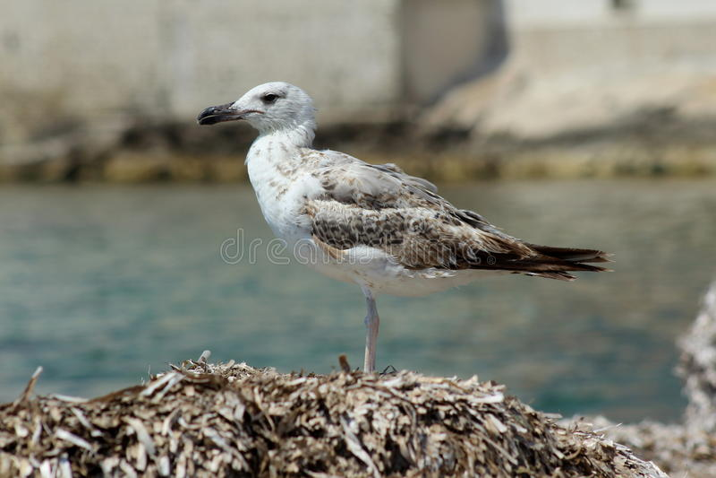 Γλάρος που προσέχει τη θάλασσα στοκ φωτογραφία με δικαίωμα ελεύθερης χρήσης