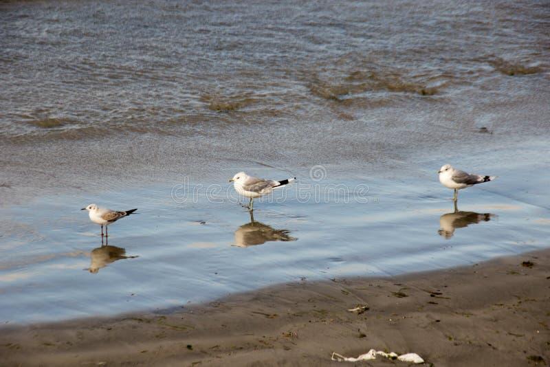 Γλάρος στην παλίρροια ακτών στοκ φωτογραφίες