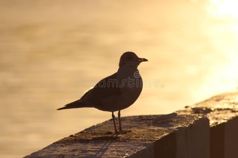 γλάρος στην προκυμαία κιγκλιδωμάτων γρανίτη στο ηλιοβασίλεμα διανυσματική απεικόνιση