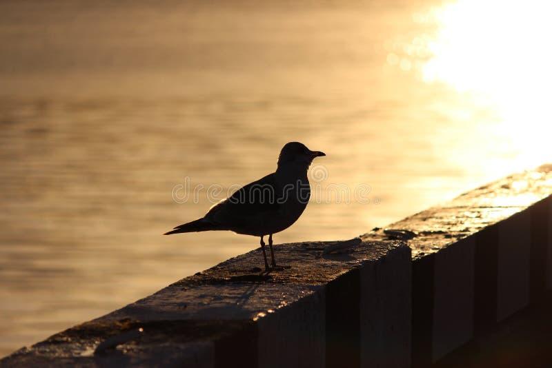 γλάρος στην προκυμαία κιγκλιδωμάτων γρανίτη στο ηλιοβασίλεμα απεικόνιση αποθεμάτων