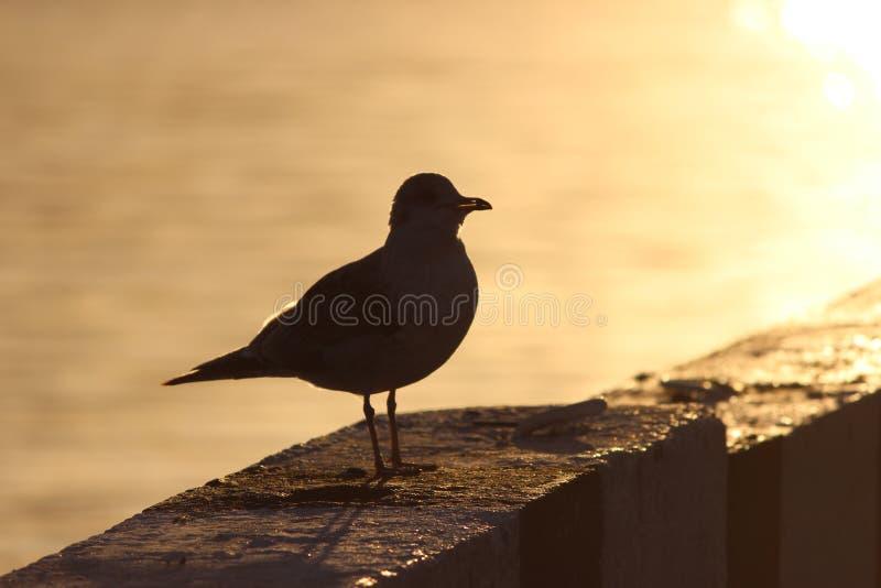 γλάρος στην προκυμαία κιγκλιδωμάτων γρανίτη στο ηλιοβασίλεμα ελεύθερη απεικόνιση δικαιώματος