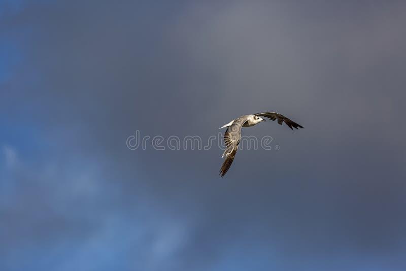 Γλάρος στο γκρίζο σύννεφο στοκ εικόνα