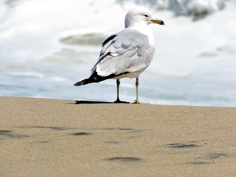 Γλάρος της νότιας Bethany στην παραλία 2016 στοκ φωτογραφίες