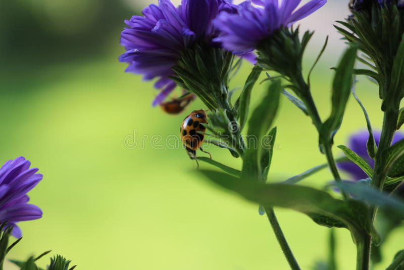 Γλυκά ladybugs στοκ φωτογραφίες με δικαίωμα ελεύθερης χρήσης