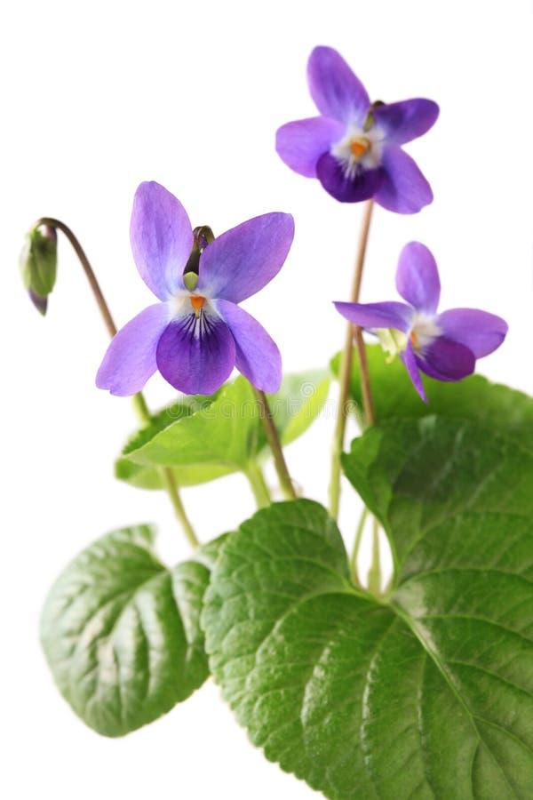 Γλυκιά βιολέτα, odorata viola στοκ εικόνες με δικαίωμα ελεύθερης χρήσης