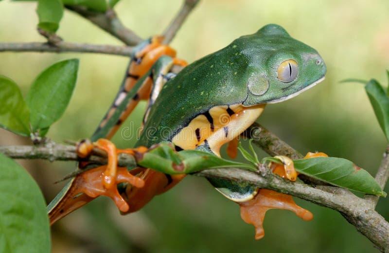 Γδυμένος τίγρη βάτραχος δέντρων στοκ φωτογραφίες