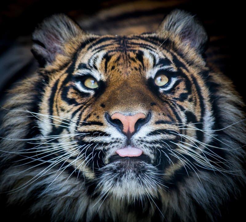 Γλώσσα προσώπου τιγρών στοκ φωτογραφία