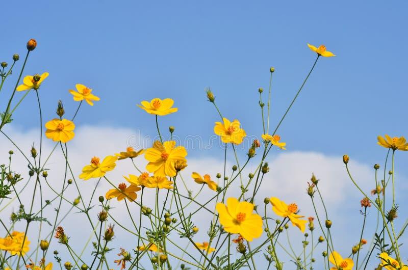 Γ sulphureus Cav ή κόσμος θείου λουλούδι κόσμου κίτριν&omicr στοκ εικόνες με δικαίωμα ελεύθερης χρήσης