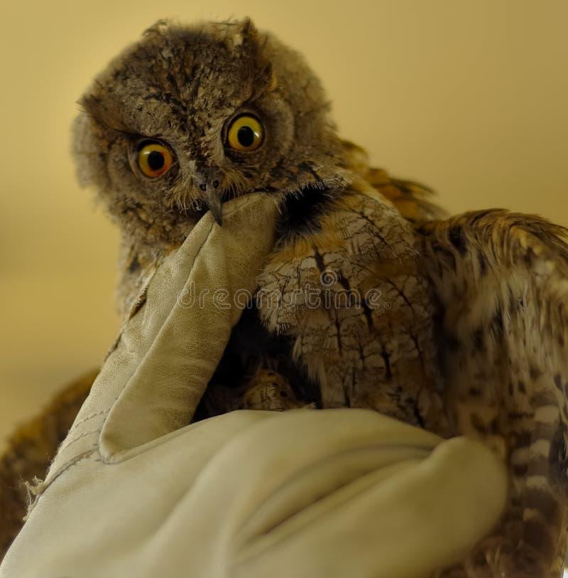 Δάγκωμα Owlet βίαια το γάντι στοκ φωτογραφίες