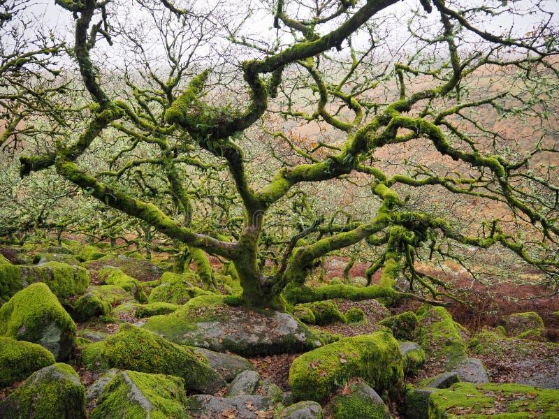 Δάση δρυός Wistman`s με πράσινη λειχήνες και βρύα, Dartmoor National Park, Devon, UK στοκ εικόνες με δικαίωμα ελεύθερης χρήσης