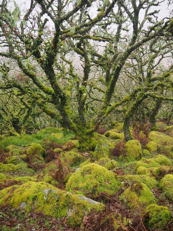 Δάση δρυός Wistman`s με πράσινη λειχήνες και βρύα, Dartmoor National Park, Devon, UK στοκ εικόνες