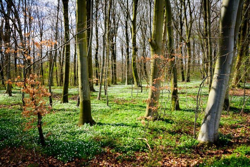 Δάσος άνοιξη - Δανία στοκ φωτογραφίες με δικαίωμα ελεύθερης χρήσης