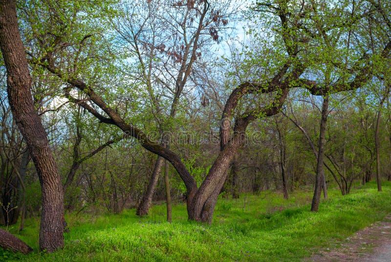Δάσος άνοιξη – τοπίο: δέντρο με τον κυρτό κορμό στοκ εικόνες
