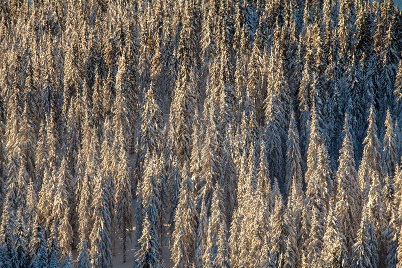 Δάσος δέντρων πεύκων στοκ εικόνα