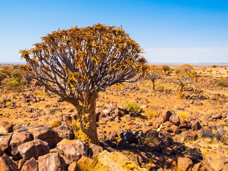 Δάσος δέντρων ρίγου στη Ναμίμπια στοκ εικόνα με δικαίωμα ελεύθερης χρήσης