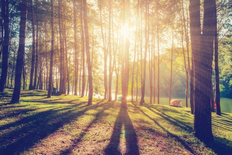Δάσος αγριόπευκων με το φως του ήλιου και σκιές στην ανατολή στοκ εικόνες