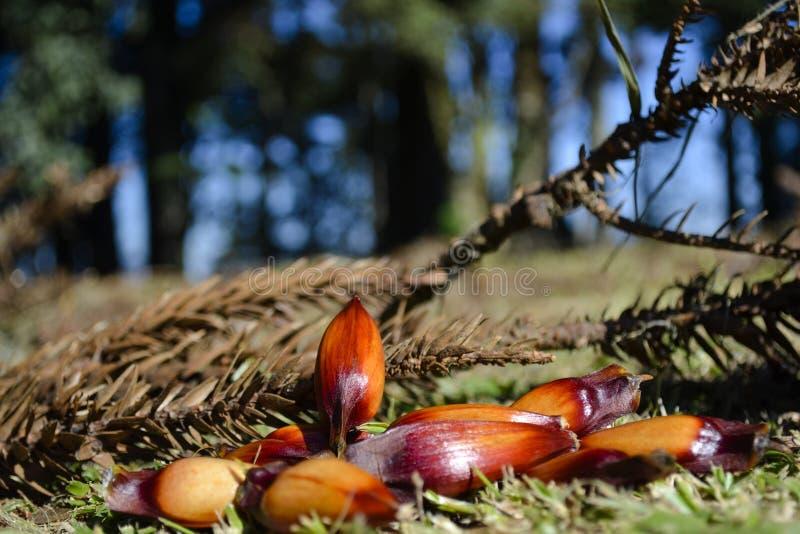 Δάσος αροκαριών με τα καρύδια πεύκων στοκ εικόνες