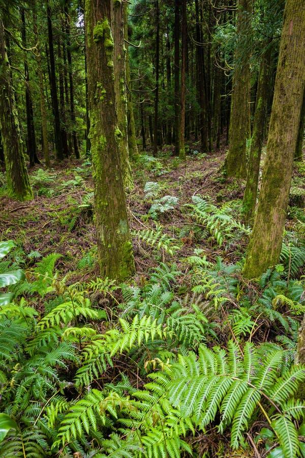 Δάσος γύρω από τη λιμνοθάλασσα του καναρινιού στο νησί του Miguel Σάο, αρχιπέλαγος των Αζορών στοκ φωτογραφίες