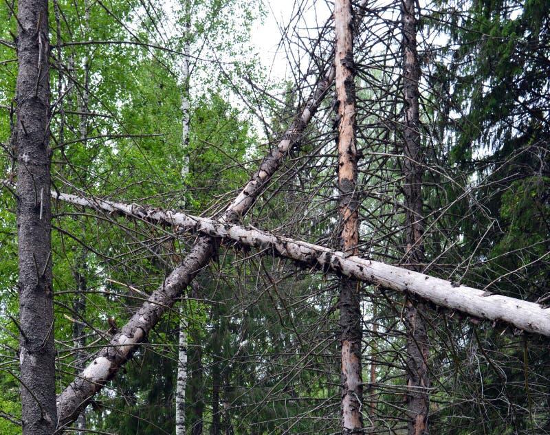 Δάσος, δέντρο, φύση, δέντρα, πεύκο, δάσος, τοπίο, σημύδα, καλοκαίρι, πράσινο, κορμός, φθινόπωρο, πάρκο, άνοιξη, χλόη, φύλλα, εποχ στοκ εικόνες με δικαίωμα ελεύθερης χρήσης