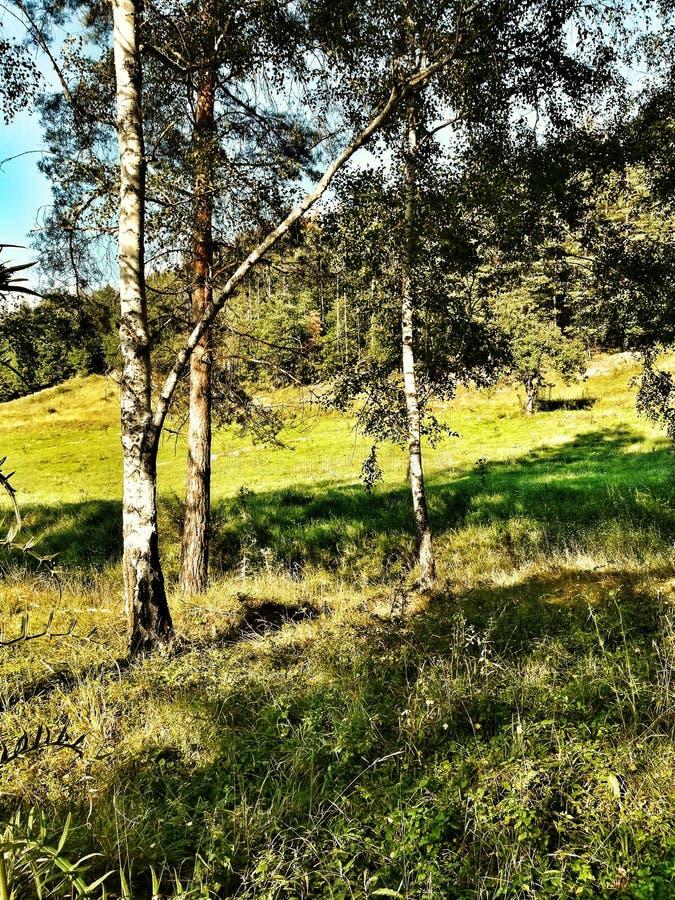 Δάσος, δέντρο, χλόη, φύση στοκ εικόνα με δικαίωμα ελεύθερης χρήσης