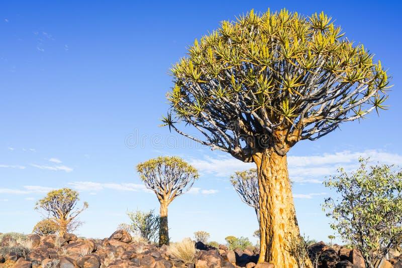 Δάσος δέντρων ρίγου της Ναμίμπια στοκ φωτογραφίες με δικαίωμα ελεύθερης χρήσης