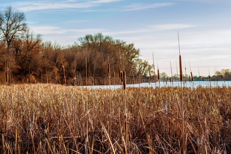 Δάσος και κάλαμοι στην παγωμένη ακτή της λίμνης στοκ εικόνες