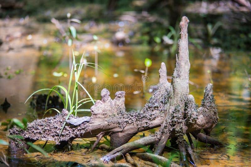 Δάσος κυπαρισσιών και έλος του εθνικού πάρκου Congaree στο νότο Caro στοκ φωτογραφία με δικαίωμα ελεύθερης χρήσης