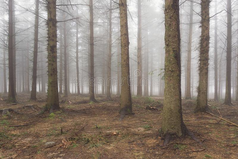 δάσος κωνοφόρων με τους γυμνούς κορμούς δέντρων στοκ φωτογραφίες με δικαίωμα ελεύθερης χρήσης