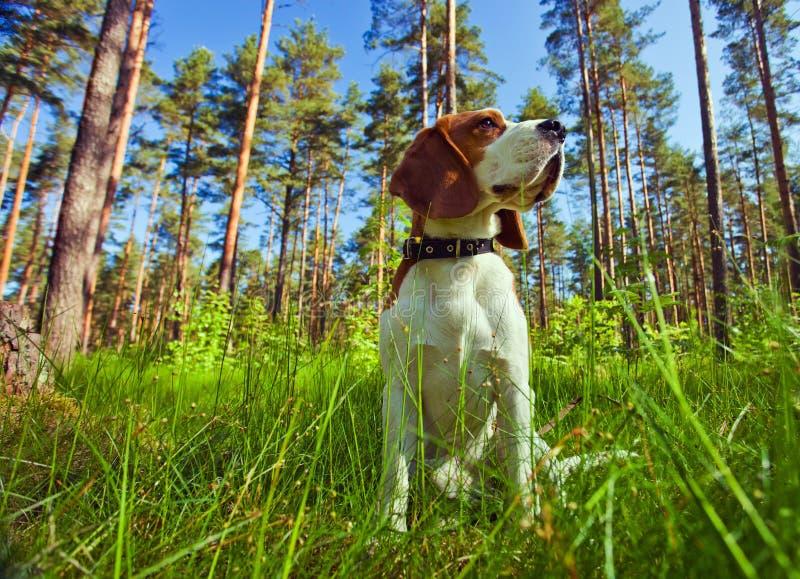 δάσος λαγωνικών στοκ φωτογραφίες