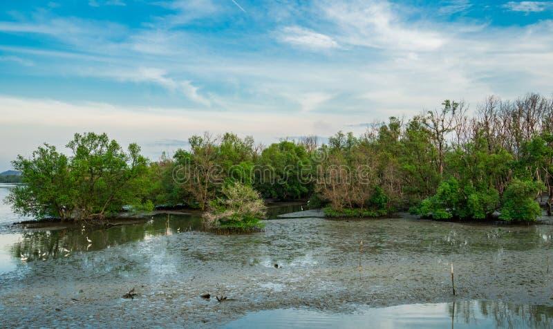 Δάσος μαγγροβίων με τα πουλιά που περπατούν στη λάσπη Όμορφος μπλε ουρανός στοκ φωτογραφίες με δικαίωμα ελεύθερης χρήσης