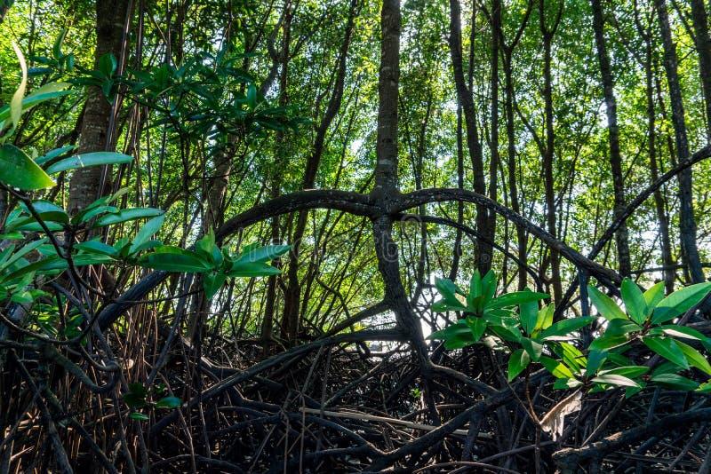 Δάσος μαγγροβίων στο νότο της Ταϊλάνδης, Krabi στοκ εικόνα με δικαίωμα ελεύθερης χρήσης