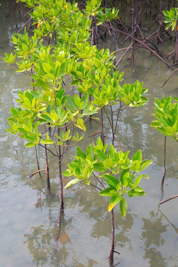 Δάσος μαγγροβίων τροπικό σε παράκτιο Τα μαγγρόβια είναι αλατισμένα ανεκτικά στοκ φωτογραφία με δικαίωμα ελεύθερης χρήσης