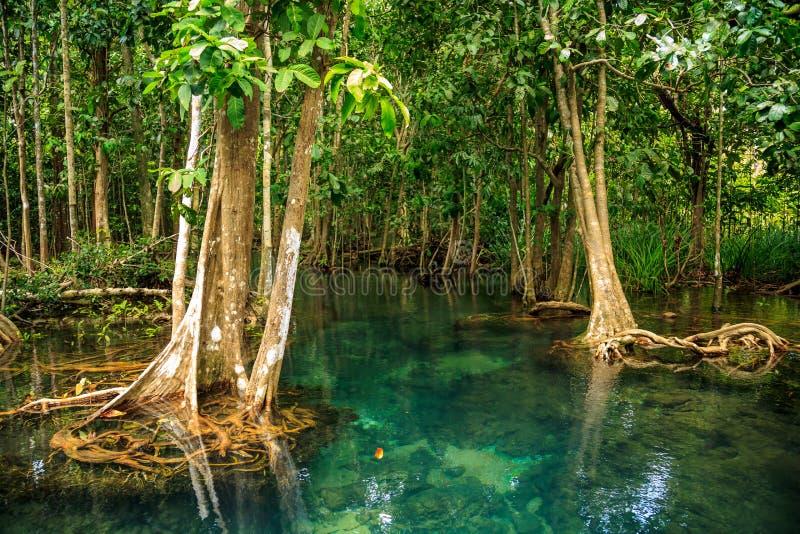 Δάσος μαγγροβίων στοκ φωτογραφία