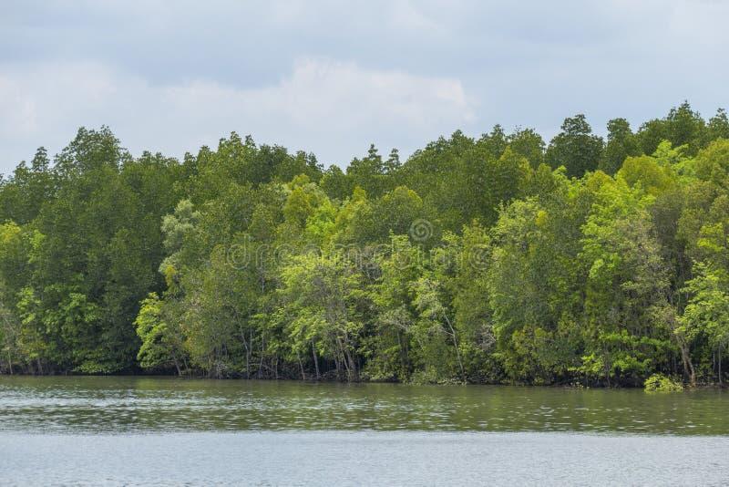 Δάσος μαγγροβίων, Krabi, Ταϊλάνδη στοκ εικόνα με δικαίωμα ελεύθερης χρήσης