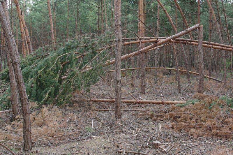 Δάσος μετά από τη θύελλα στοκ εικόνα