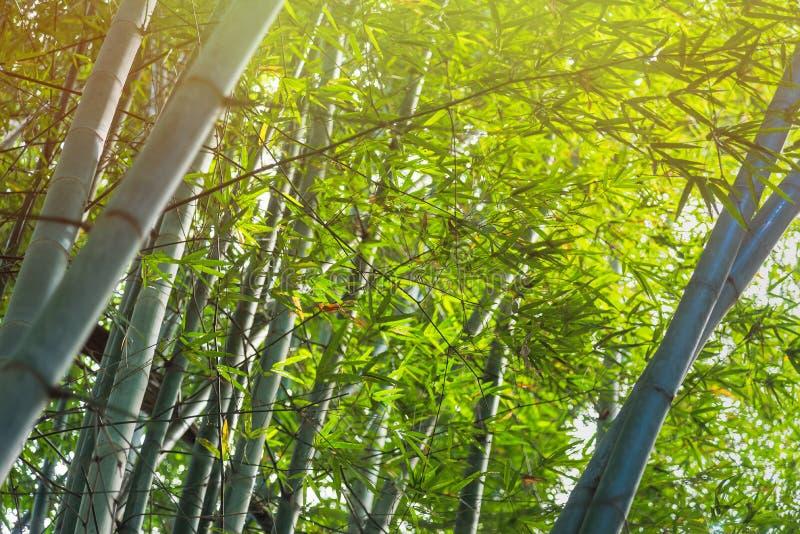 Δάσος μπαμπού με το φως του ήλιου σε Chiang Rai, Ταϊλάνδη στοκ εικόνες
