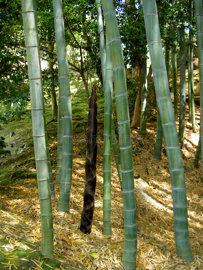 δάσος μπαμπού στοκ εικόνα