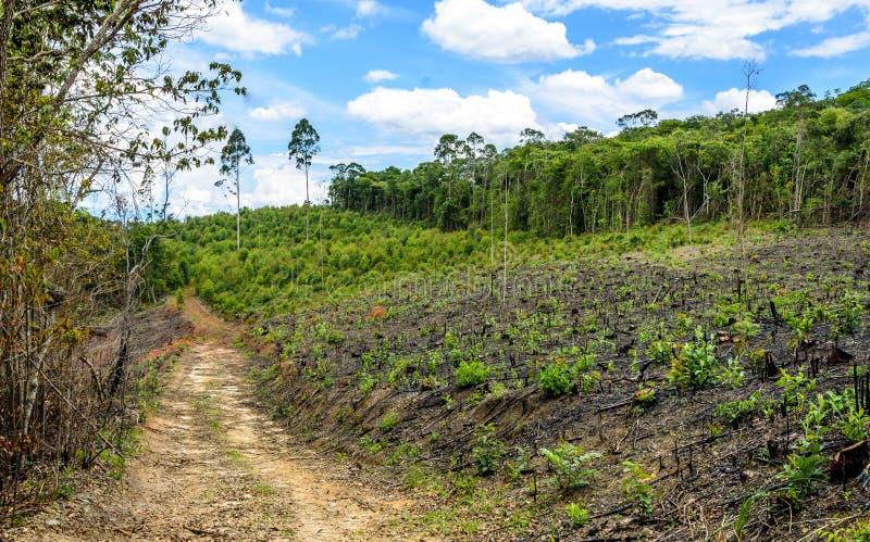 Δάσος παραγωγής ευκαλύπτων στο Minas Gerais, Βραζιλία στοκ φωτογραφία