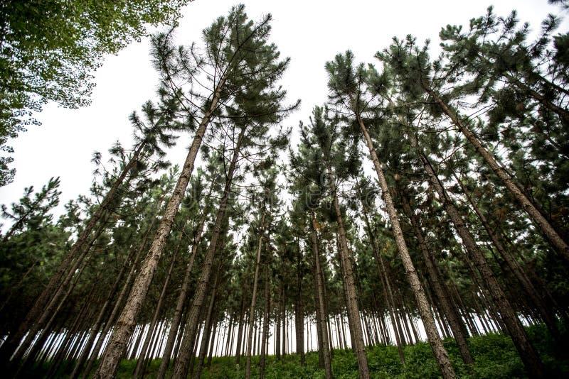 Δάσος πεύκων με τις γραμμές στοκ φωτογραφία