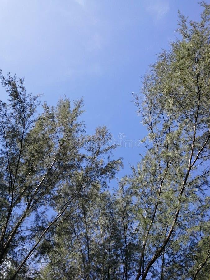 Δάσος πεύκων στο μπλε ουρανό Songkhla, Ταϊλάνδη στοκ εικόνες με δικαίωμα ελεύθερης χρήσης