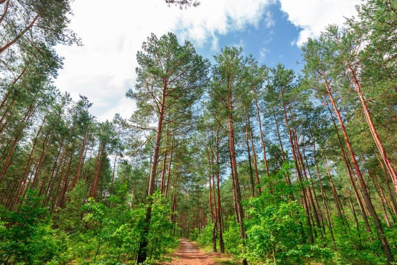 Δάσος πεύκων τον Ιούλιο στοκ φωτογραφία με δικαίωμα ελεύθερης χρήσης